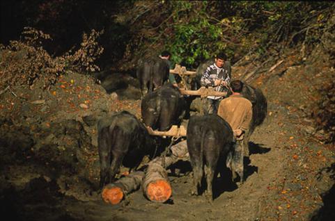buffalo-logging2