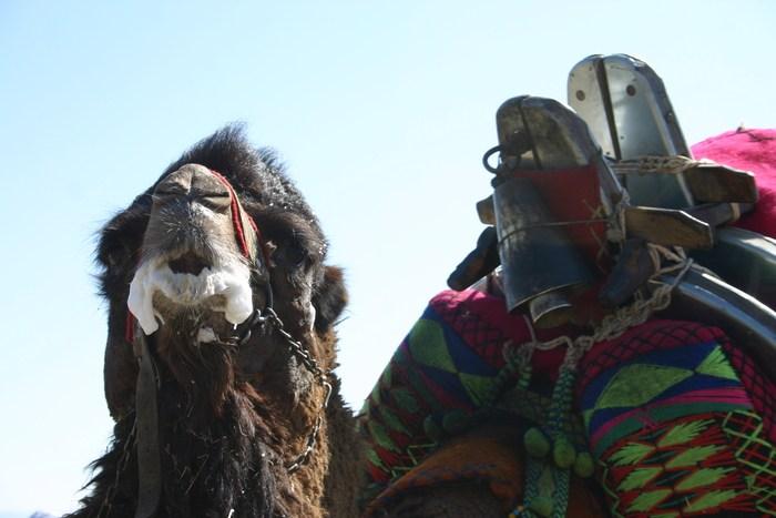 camel13