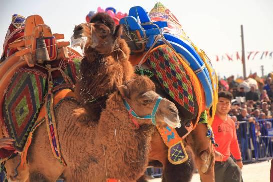 camelsIMG_6720_copy_copy