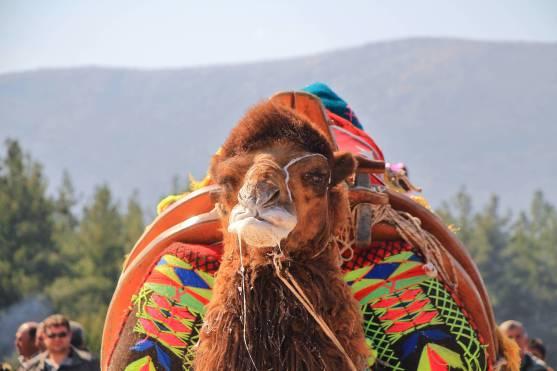 camelsIMG_6764_copy_copy