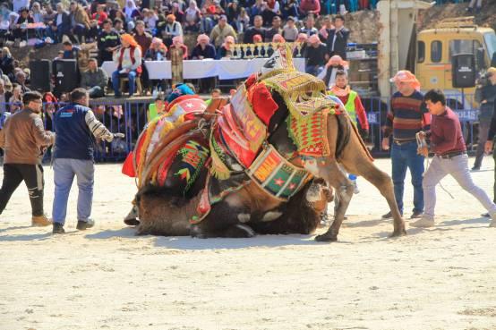 camelsIMG_6782_copy_copy