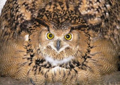eagle-owl-threat