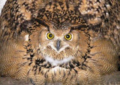 eagle-owl-threat