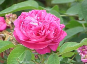 Rose-of-Damascus-hybrid1