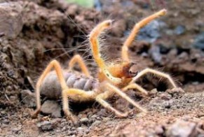 Camel-Spider-Maw