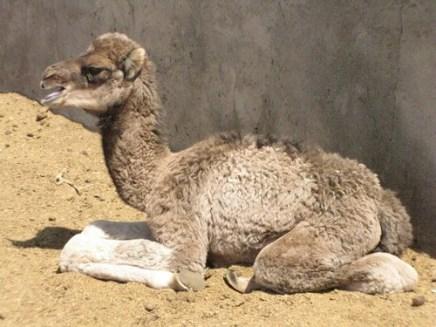 camels5