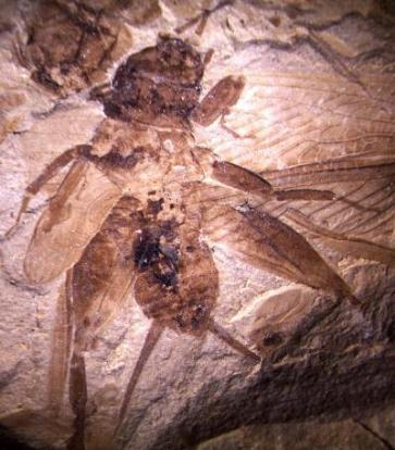 cricket-fossil