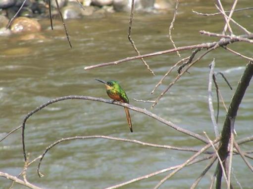 emerald-kingfisher_1