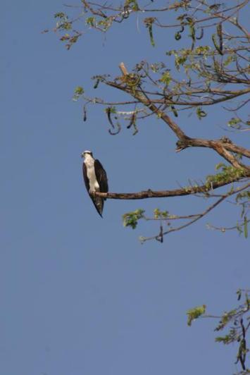 fish-eagle_1