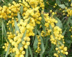 Izmir-mimosa-acacia-retinodes