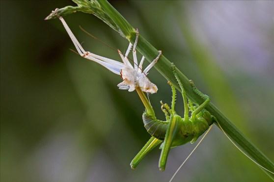 katydid-emerging