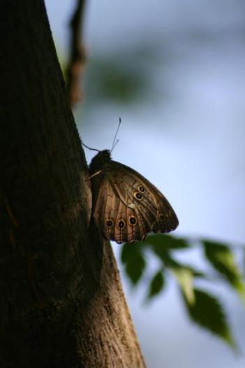 lattice brown