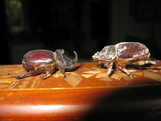 rhino-beetles