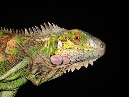 river-iguana2_1