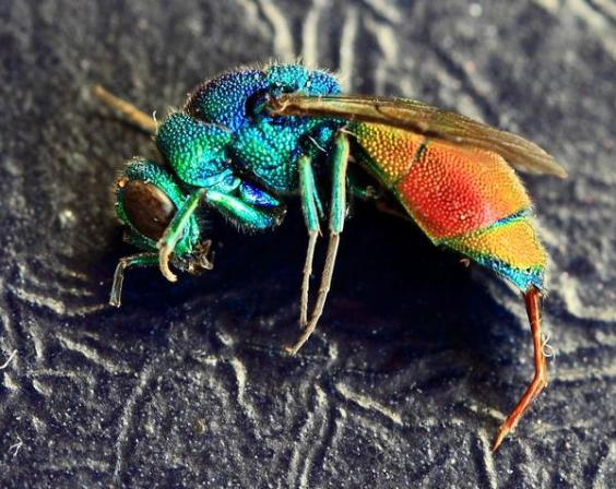 Ruby-tailed-Wasp1