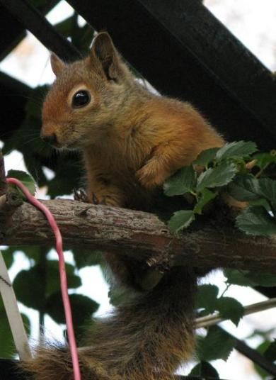 Syrian-Squirrel-up-close_1