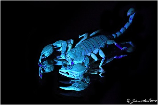 Yellow-tailed-scorpion-infra-red