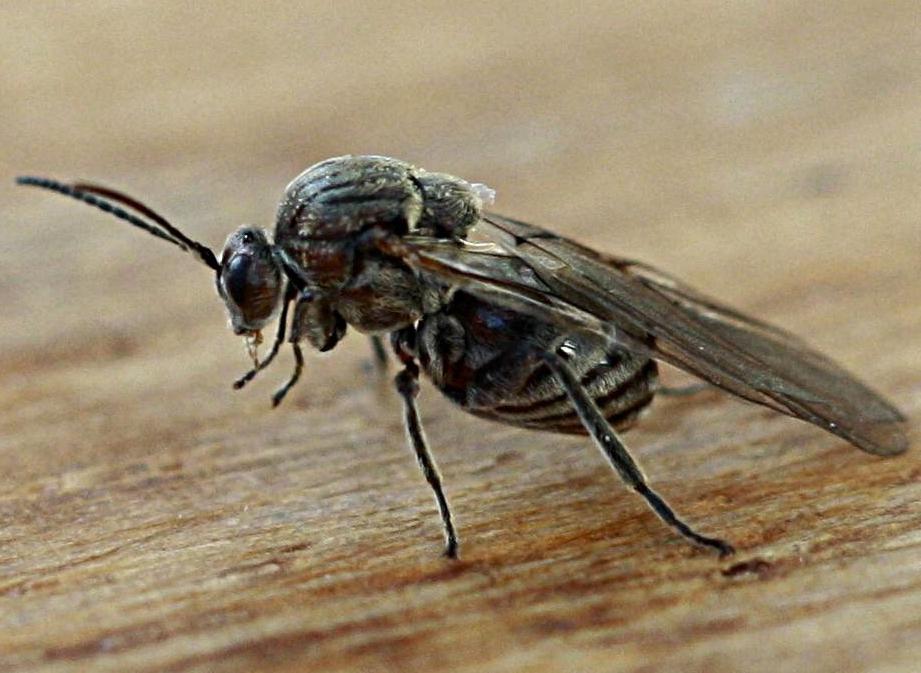 Knopper Oak Gall Wasp
