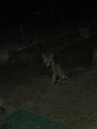 Canis auris - Golden Jackal